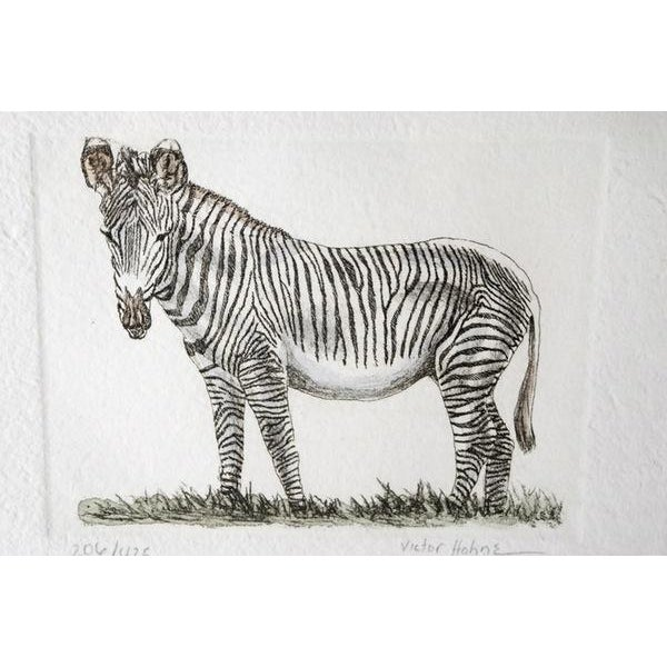 Beautiful hand colored engraving of a zebra in Africa. The print is signed by artist Victor Hohne and professionally...