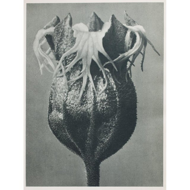 Blossfeldt Double Sided Photogravure - Image 9 of 11