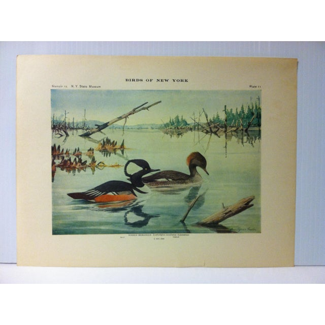 """This is a Real Nice Antique The State of New York Museum Birds of New York Print on Paper that is titled """"Hooded..."""