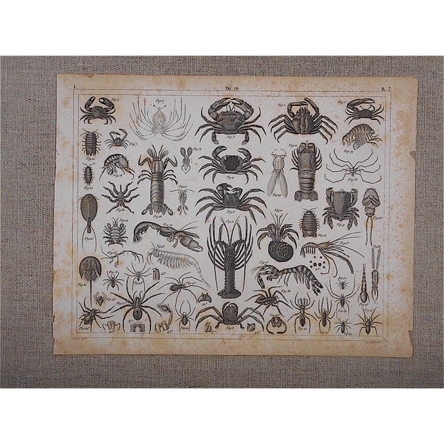 Antique Crustaceans Lithograph - Image 2 of 3