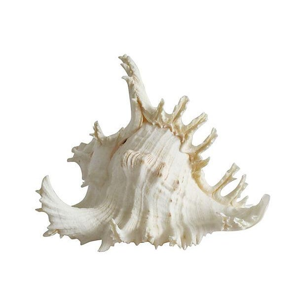 Spiky Conch Shell - Image 1 of 4