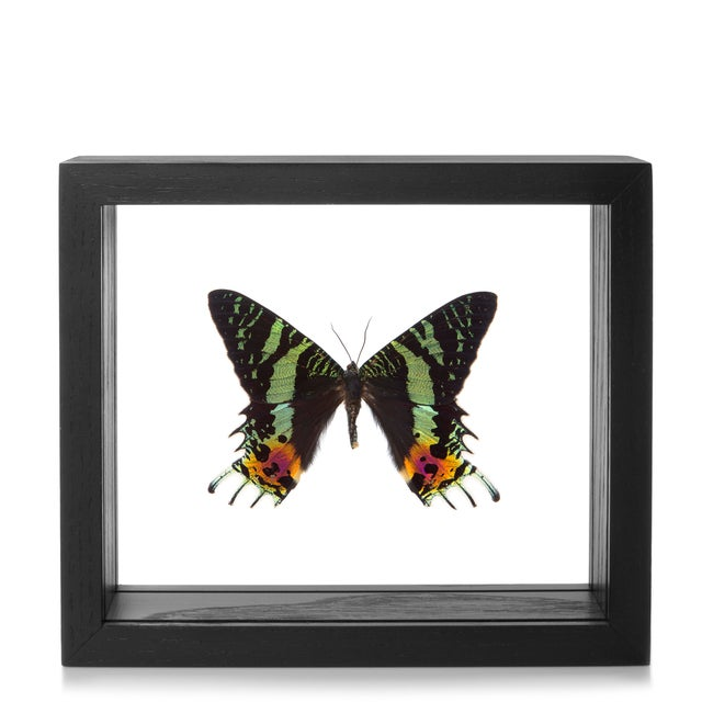 Framed Sunset Moth-Urania Ripheus - Image 2 of 2