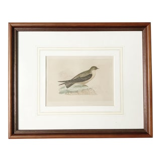 Mid 19th Century Crag Swallow Illustrated Bird Print Framed For Sale