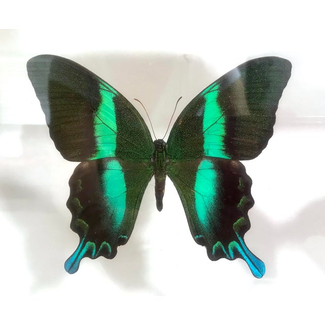 A set of professionally framed and mounted butterflies that include very large Blue Morpho's, large Papilio Ulysses...