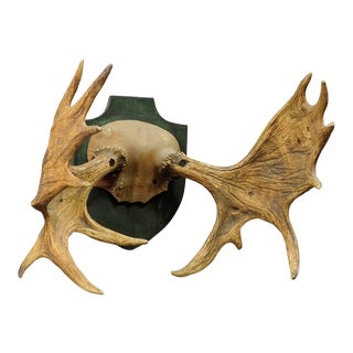 Large Moose Trophy From A Noble Estate, Germany Ca. 1930 For Sale