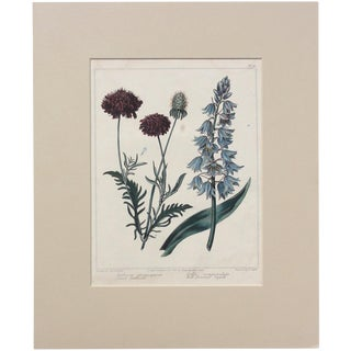 """1806 """"Sweet Seabious & Bell Flowered Squill"""" Botanical Engraving For Sale"""