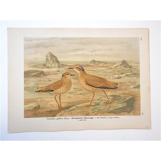 Antique Bird Lithograph, Water & Shore Birds Preview