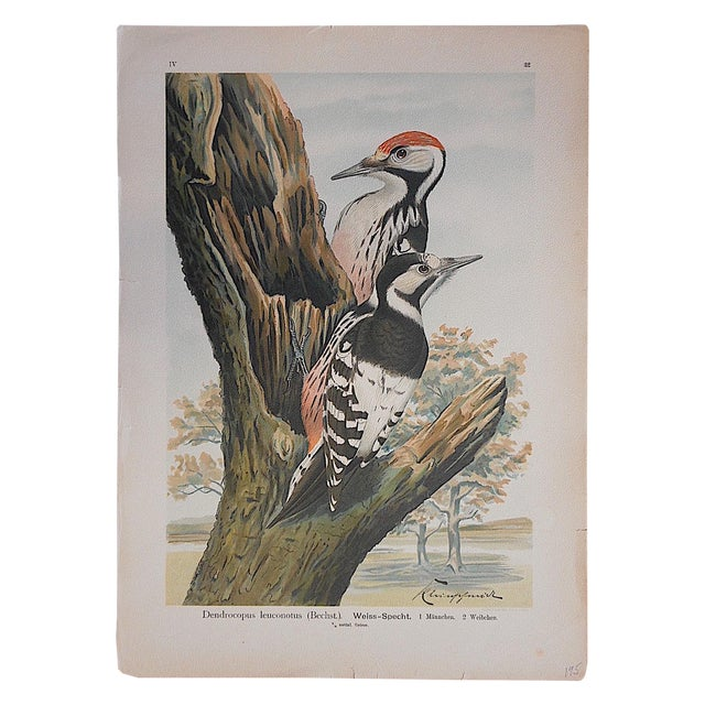 Antique Bird Lithographs - Woodpeckers For Sale