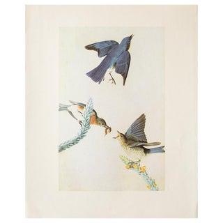 Eastern Bluebird by John James Audubon, 1966 Lithograph For Sale