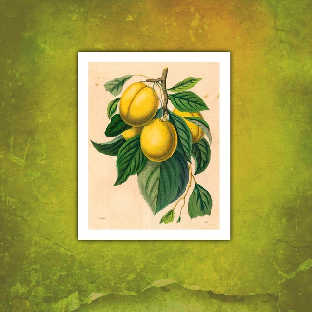 French Vintage Yellow Plum Branch Archival Print For Sale - Image 3 of 3