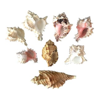 Scaphella Junonia Seashells - Set of 8