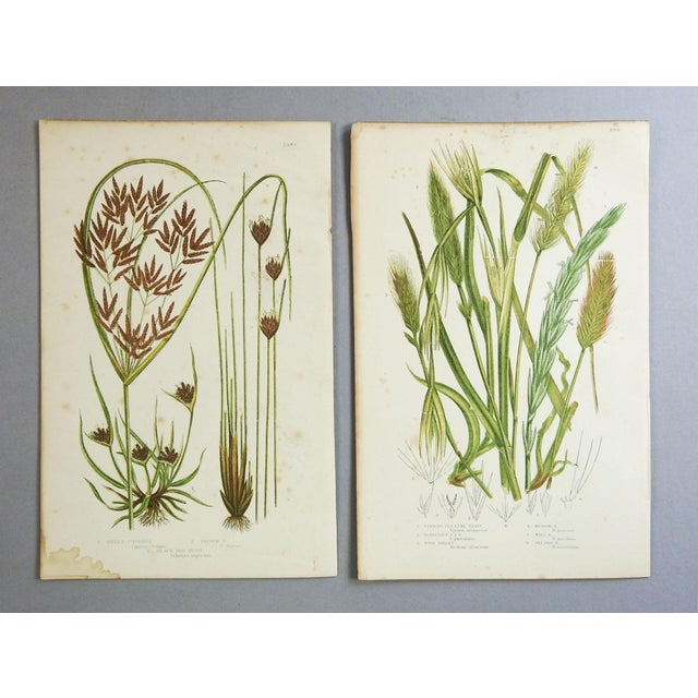 "Pair of lithographs by Anne Pratt (1806-1893) from ""The Flowering Plants, Grasses, Sedges and Ferns of Great Britain.""..."