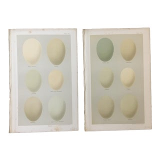 Pair of 19th Century Hand-Colored Lithographs of Eggs For Sale