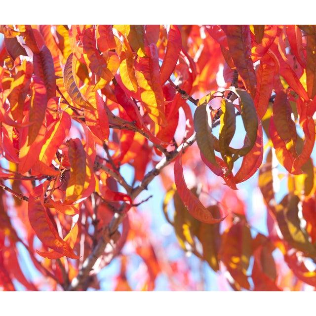 "Gaétan Caron ""Early Charlotte (Peach Tree)"" Mendocino Photograph, 2015 2015 For Sale"