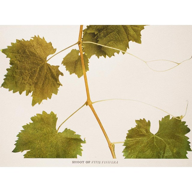 1900 - 1909 1900s Original Grapes Photogravures by Hedrick - Set of 2 For Sale - Image 5 of 10