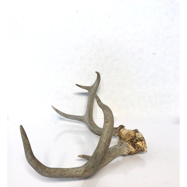 Large vintage pair of mature western 6-point deer antlers with natural skull cap weathered to a rustic gray with brown and...