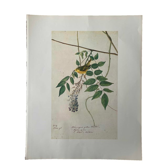 Vintage Blue Eyed Yellow Warbler Bird Print For Sale