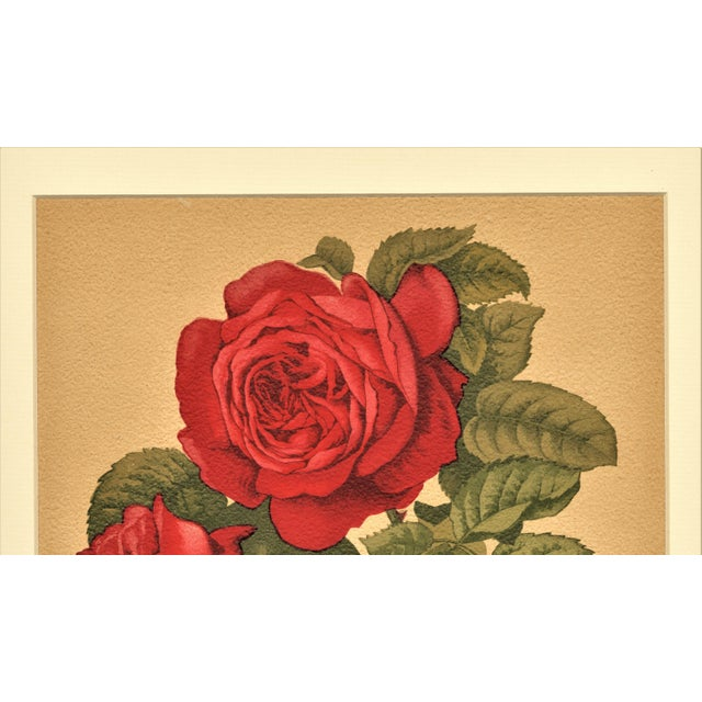 1880 Antique Rose Botanical Chromolithograph - Image 3 of 4