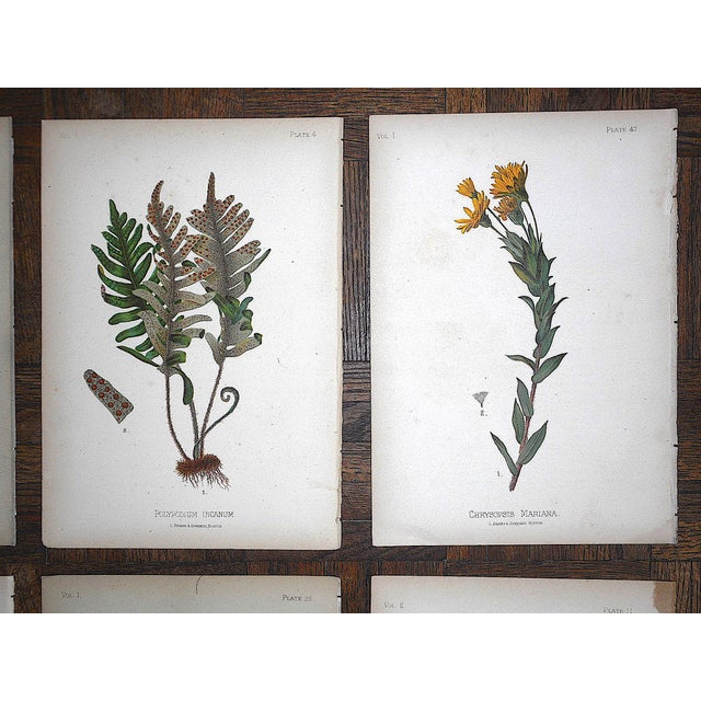 Antique 19th Century Botanical Lithographs - Set of 8 For Sale - Image 4 of 7