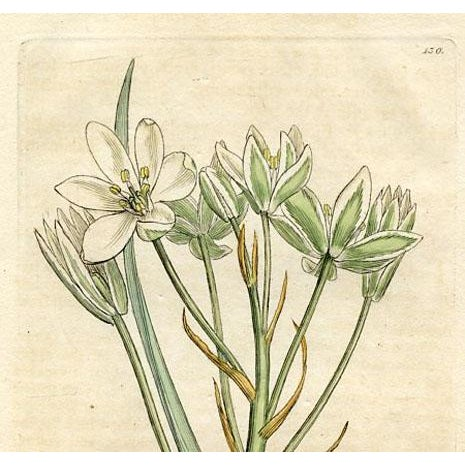 Original hand colored botanical engraving published in England in the late 1700s. Shown is the Common Star of Bethlehem....