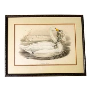 """Antique Gould, Joseph Wolf, h.c. Richter """"Cygnus Ferus"""" Hand Colored Original Lithograph For Sale"""