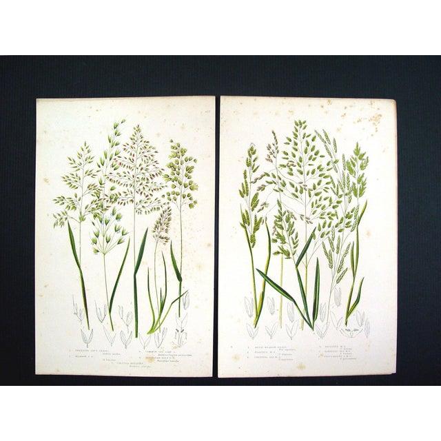 Antique 1860 Botanical Grasses Lithographs - A Pair - Image 2 of 4