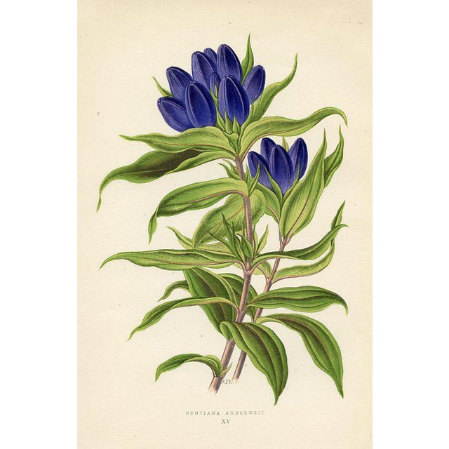 Andrew's Gentian, Antique Botanical Print For Sale - Image 4 of 4