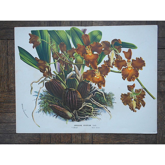 This antique hand finished chromolithograph (each color laid in with a separate lithographic stone) depicts a botanical in...