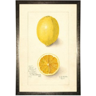Lemon Study in Pewter Shadowbox 17x25 For Sale