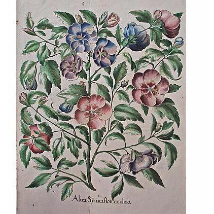 1615 Basilius Besler Botanical Engraving - Image 1 of 6