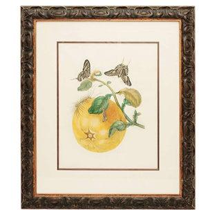 18th Century Antique Maria Sydilla Merian Hand Colored Engraving For Sale
