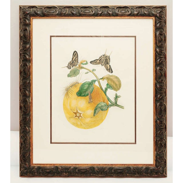 Hand-colored engraving by Maria Sydilla Merian (1674-1717). The piece dates back to the 18th century.
