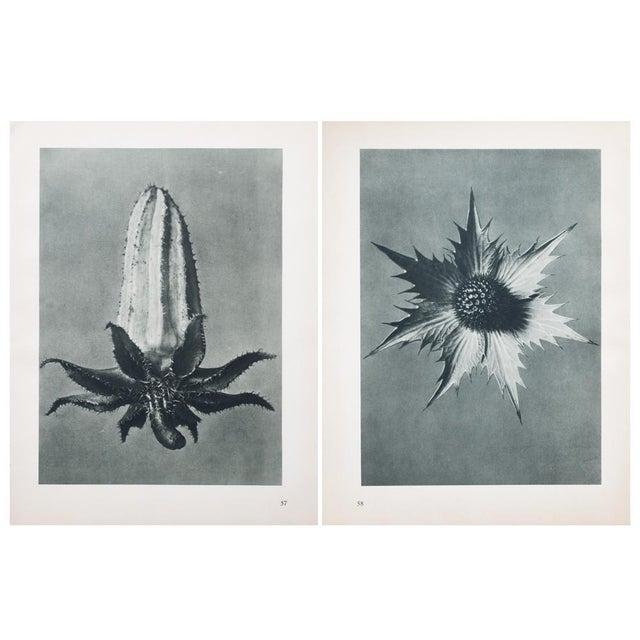 Karl Blossfeldt Double Sided Photogravure N57-58 - Image 7 of 8