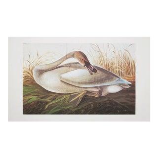Extra Large Audubon Lithograph of Swan, 1966