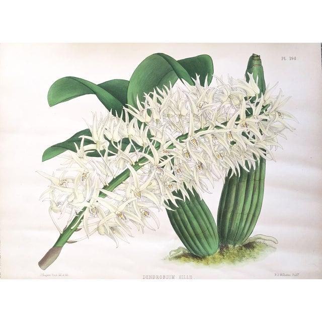 """""""Dendrobium Hillii"""" Orchid Antique Botanical Print - Image 1 of 5"""
