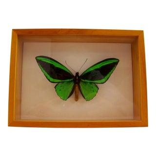 Bright Green Framed Butterfly Specimen For Sale