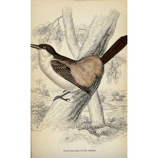 Antique Bush Shrike Engraving For Sale