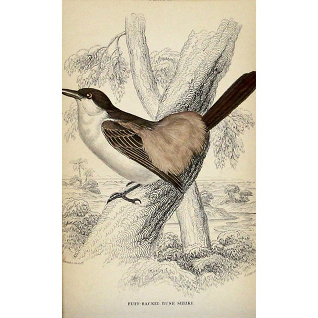 Antique Bush Shrike Engraving - Image 1 of 2