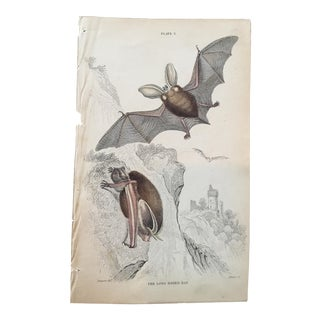 19th Century Jardine Long Eared Bat Engraving Print For Sale