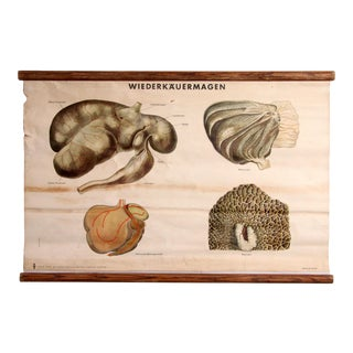 Vintage German Veterinary School Anatomical Chart of the Stomach For Sale