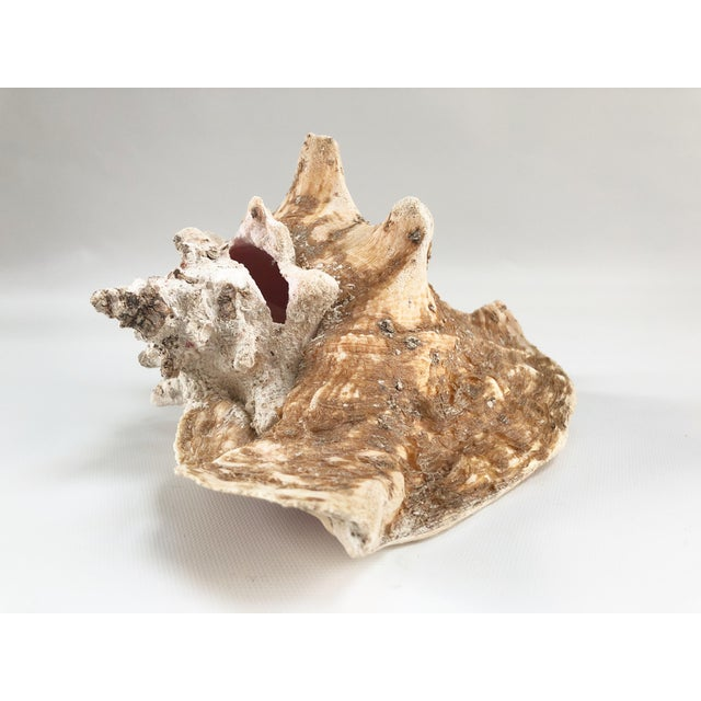 Orange Natural Weathered Large Conch Shell For Sale - Image 8 of 9