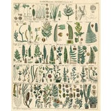 Image of German Fern Print, 1843 For Sale
