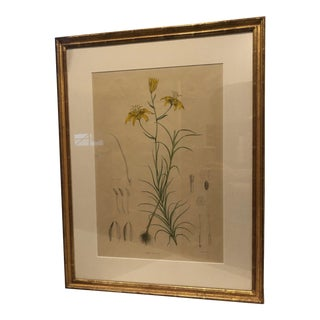 Antique Yellow Lilly Botanical Print For Sale