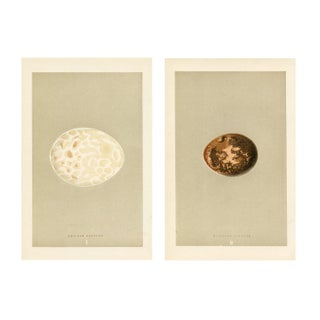 19th-C. Vulture Egg Prints - a Pair For Sale