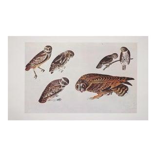 XL Audubon Lithograph of Owls, 1966