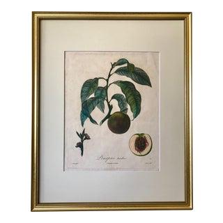 Antique French Botanical Print Necterine Paris Langlois 1846 For Sale