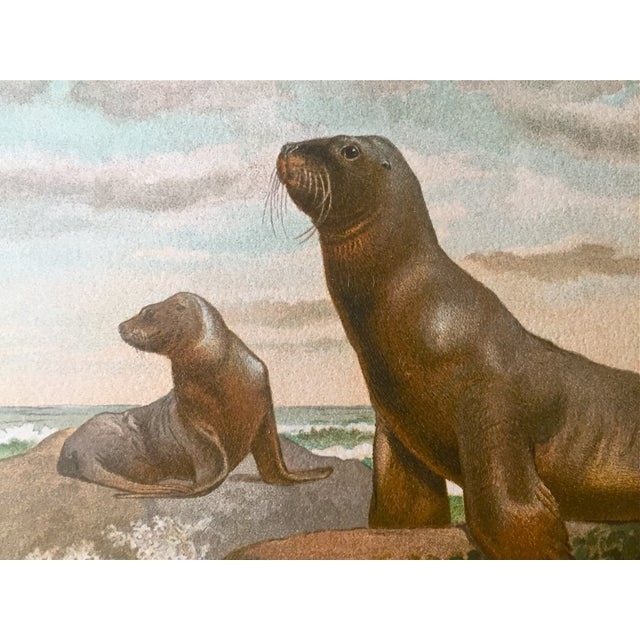 Traditional Antique Lithograph Sea Lion C.1906 For Sale - Image 3 of 4