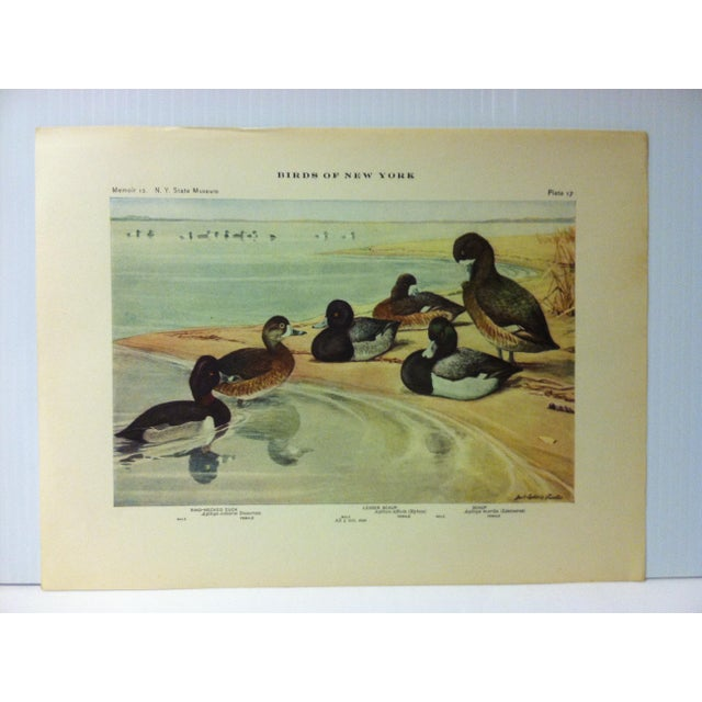 """This is a Real Nice Antique The State of New York Museum Birds of New York Print on Paper that is titled """"Lesser Scaup -..."""