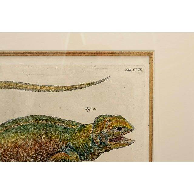 Folk Art Albertus Seba 18th Century Hand-Colored Print of Three Lizards For Sale - Image 3 of 5