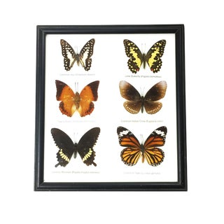 Vintage Framed Display of Butterflies